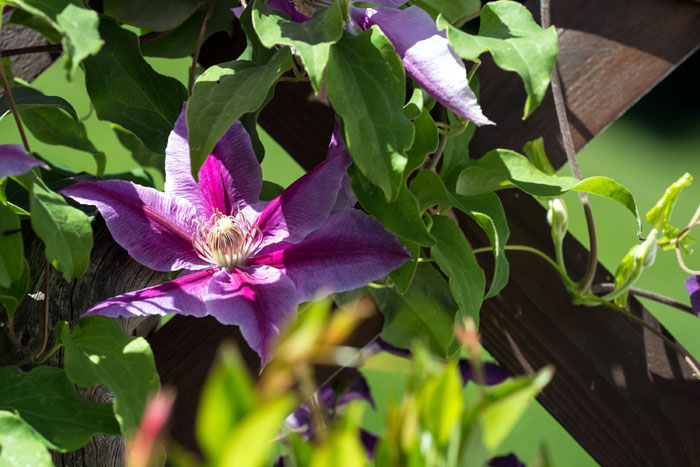 Growing Clematis plant in a container | perennial flowering vine