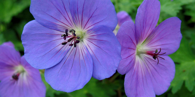 10 Most Beautiful Perennial Flowers Easy Growing Tips Naturebring
