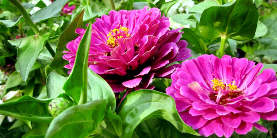 How To Grow Zinnia plant | Growing Zinnia flower | Zinnias