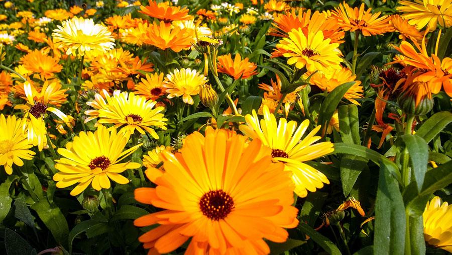 harvesting calendula | Herbaceous plants