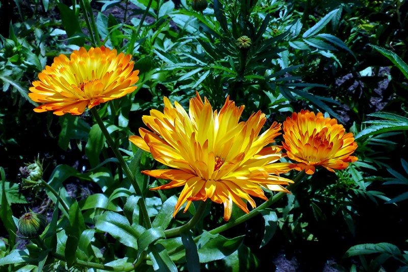 How to grow Calendula | Growing calendula flower | Herbaceous plants