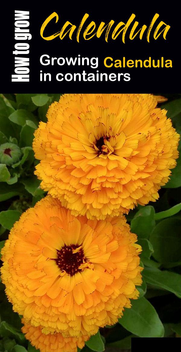 Calendula | calendula officinalis | How to grow Calendula