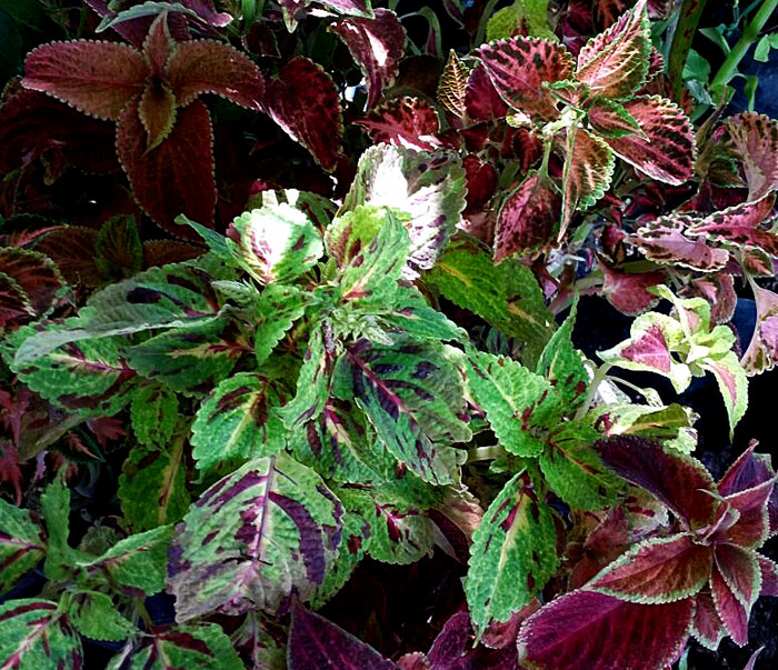 How to Grow Coleus Plants Indoors | Growing coleus plant | Coleus houseplant