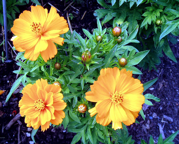 How to grow grow Cosmos flower | Growing annual plants Cosmos | Cosmos care