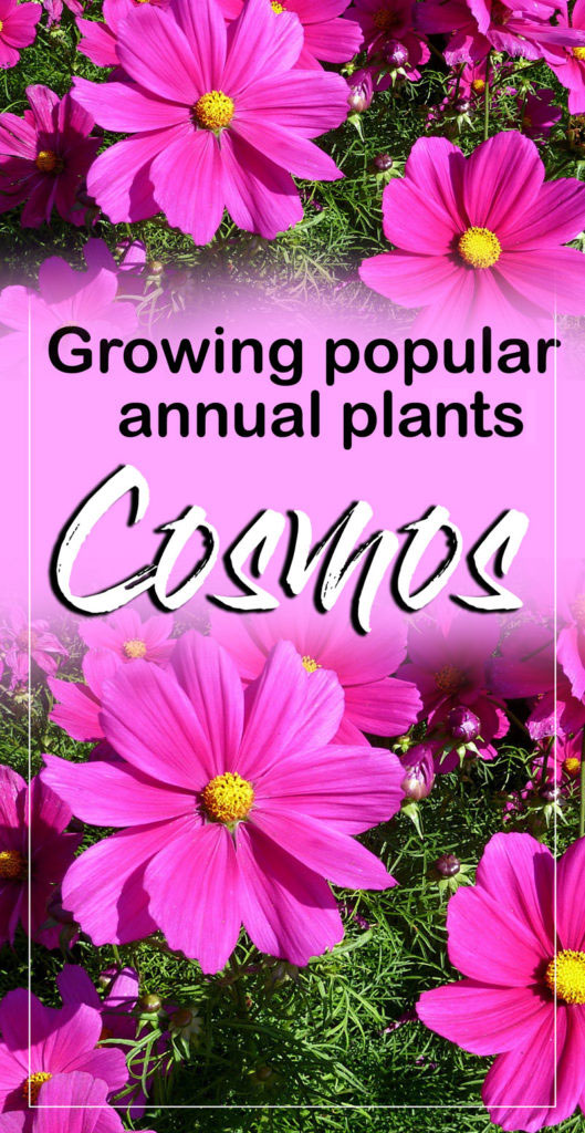 Cosmos | cosmos flower | growing cosmos | annual flower