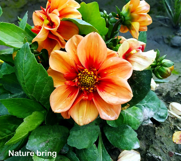 How to grow Dahlia plants | Growing dahlias in pots