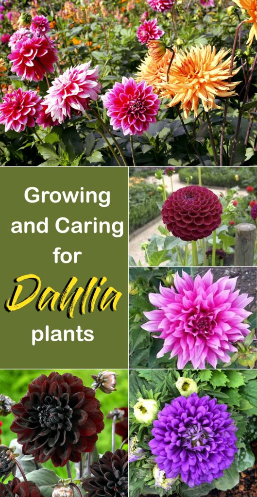 How To Grow Dahlia Plants Growing And Caring Dahlia