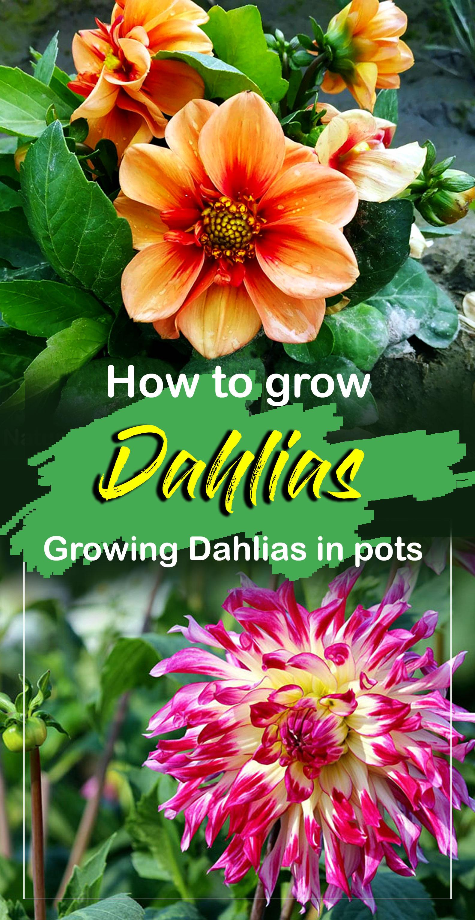 Dahlia plants | Growing dahlias