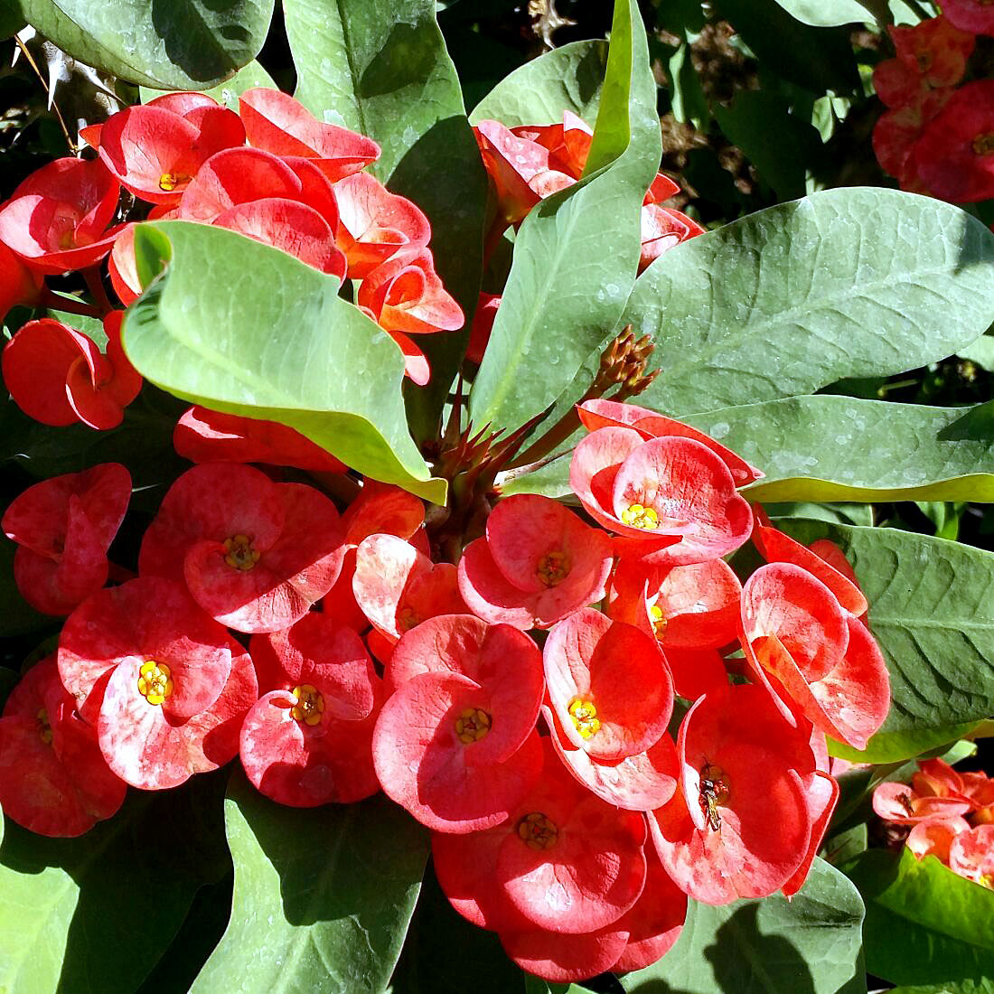 Euphorbia milii | How to grow and care Crown of Thorns | Growing Crown of Thorns