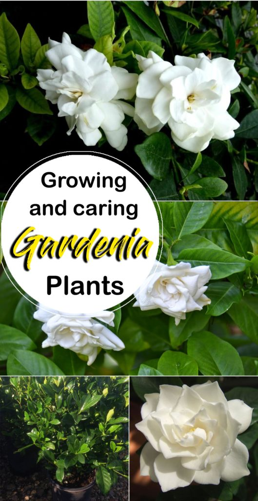 Gardenia | gardenias | growing gardenia