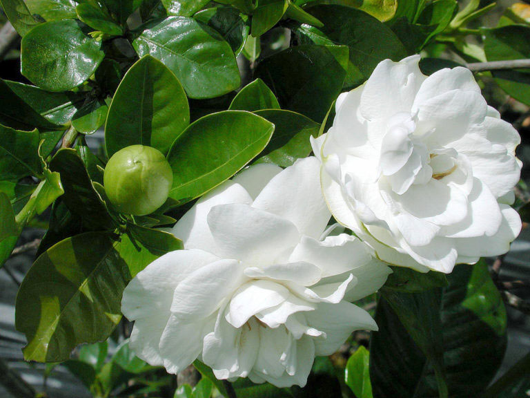 Growing Gardenia plant | How to grow Gardenia in a container