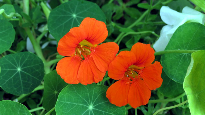 How to grow Edible Nasturtium Plant | Growing Nasturtium plant in containers