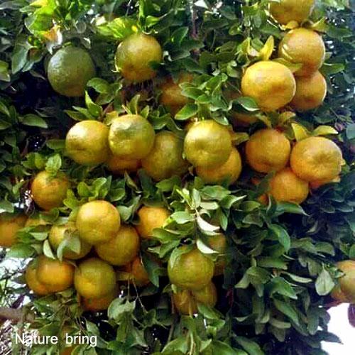 Growing Orange tree