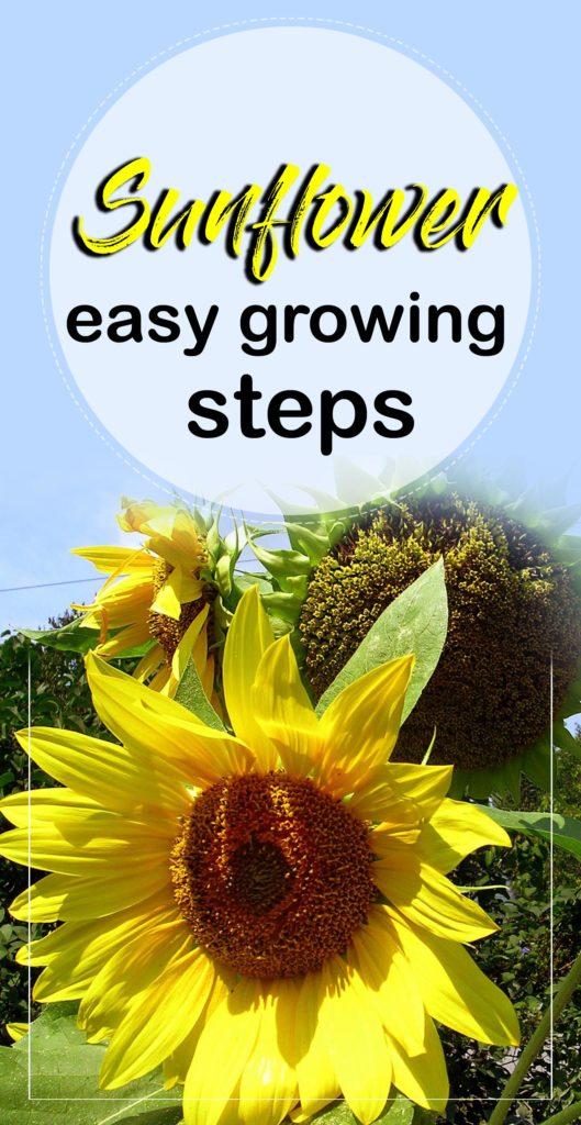 Sunflower | how to grow sunflowers | growing sunflowers
