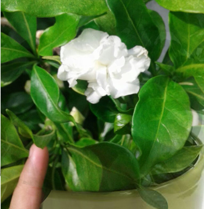how to grow gardenia in a container