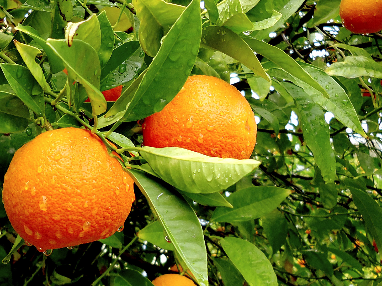 How to grow Orange in Container |  Growing Orange tree | Citrus