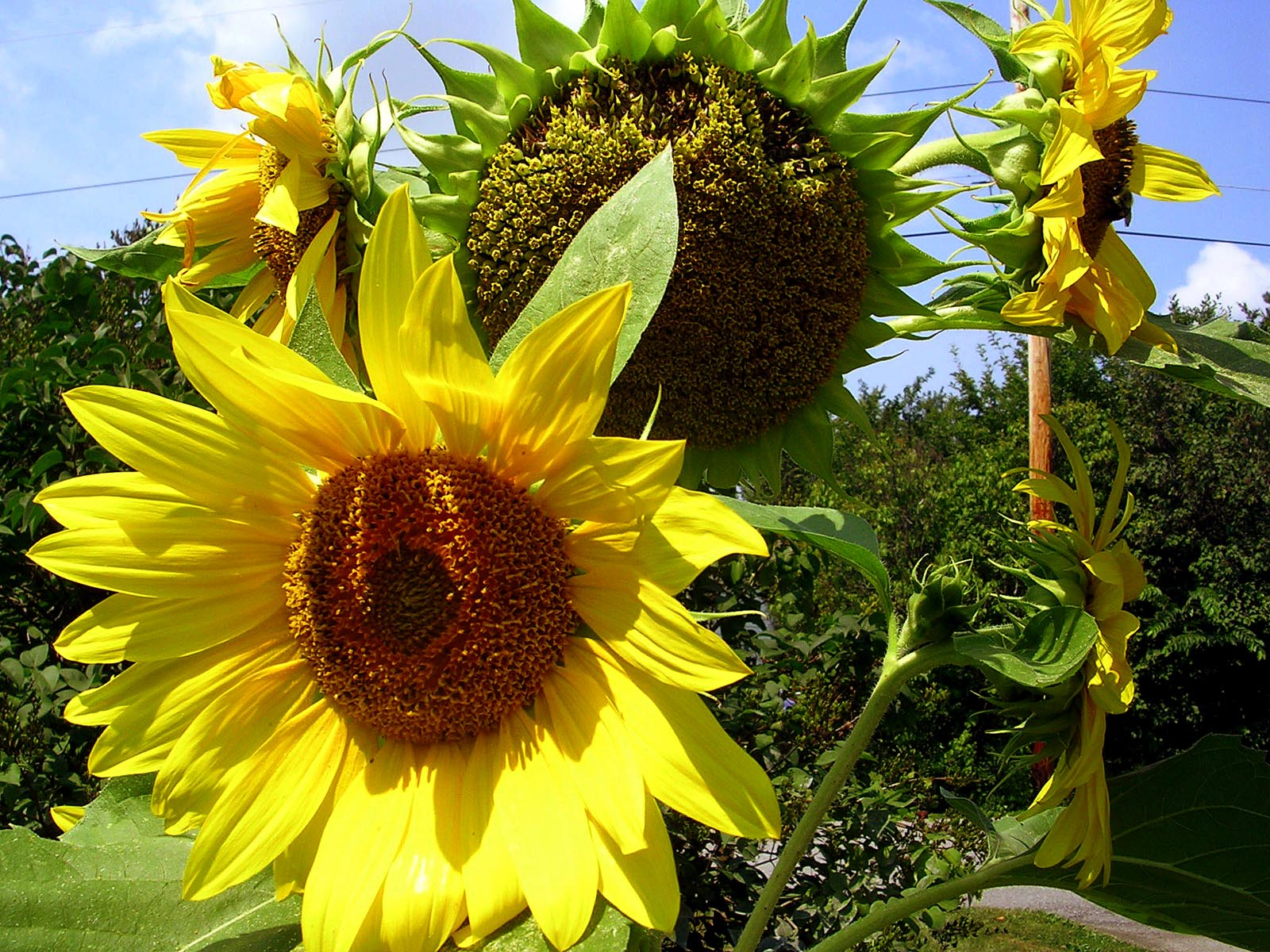 How to grow Sunflowers | Growing Sunflowers from seeds | Sunflower care