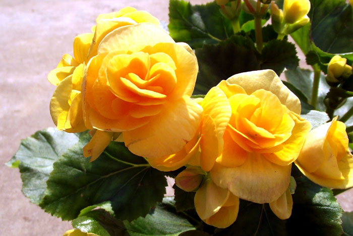 How to grow Begonias | Growing Begonia | Begonia care