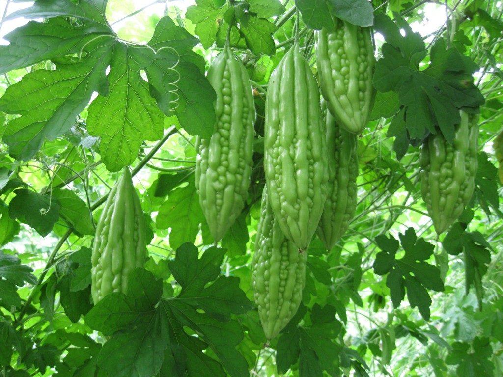 Bitter Gourd | Growing Bitter Gourd | karela