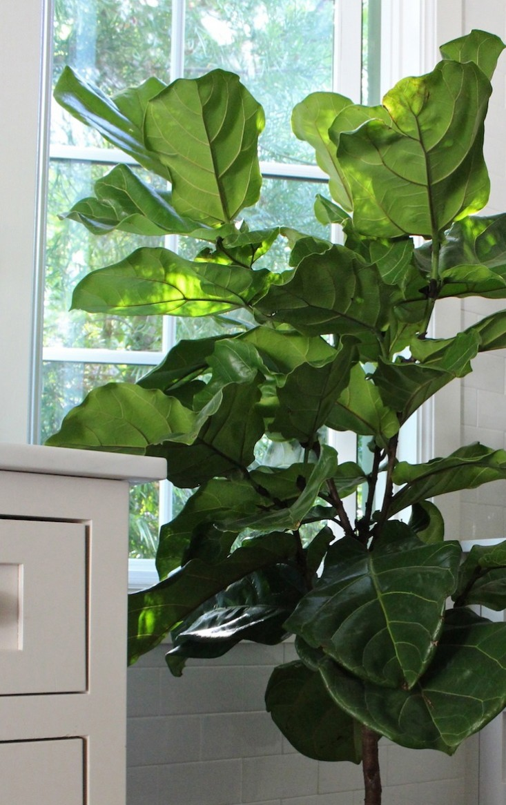 How to grow Fiddle Leaf Fig in a container | Ficus lyrata | Houseplant