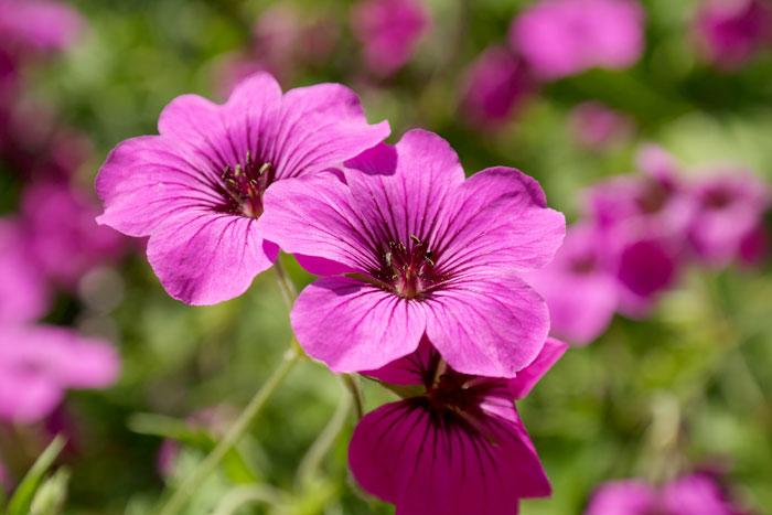 Geranium perennial flowers