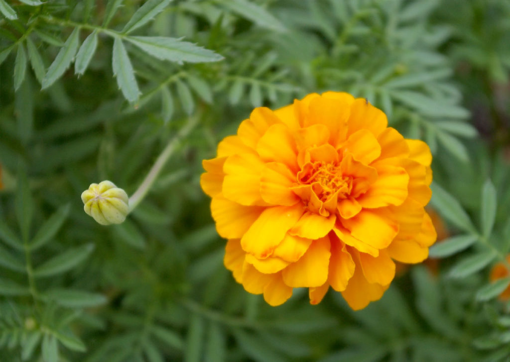 Marigold-Orange2