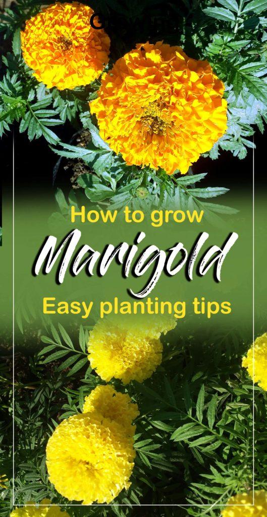 Marigold | Growing marigold plant | Genda | tagetes