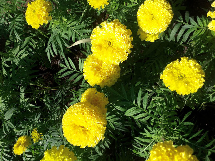 Marigold flower | Growing marigold plant | Genda | tagetes