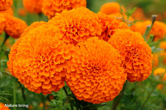 How to grow Marigold | Growing marigold plant in a container | Genda