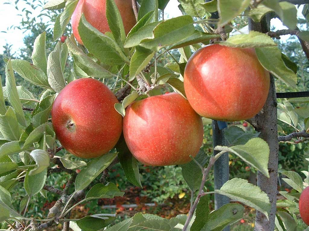 Growing dwarf apple in container | How to grow Apple tree in a container