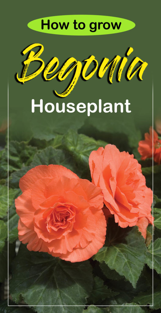growing begonia | begonias | Begonia care