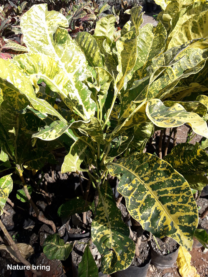 croton in a container