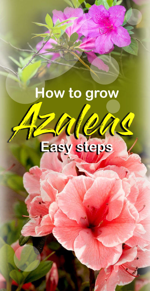 Rhododendron | Azalea bush | rhododendron and azalea