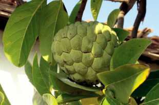 Custard apple | annona reticulata | Sugar apple