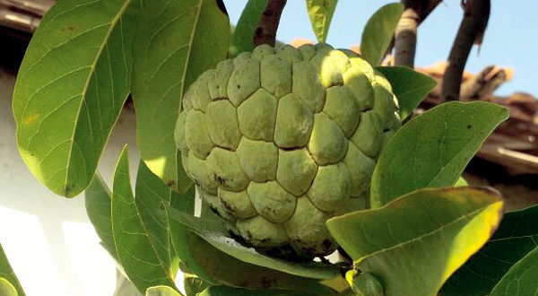Custard Apple Disease