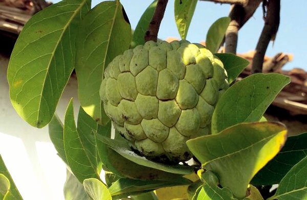 How to grow Custard apple in container | Growing Custard apple | Sugar apple