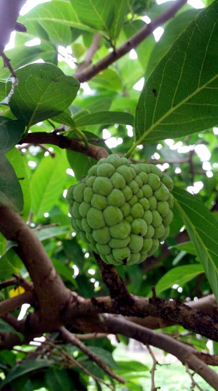 Custard apple | annona reticulata | Sugar apple