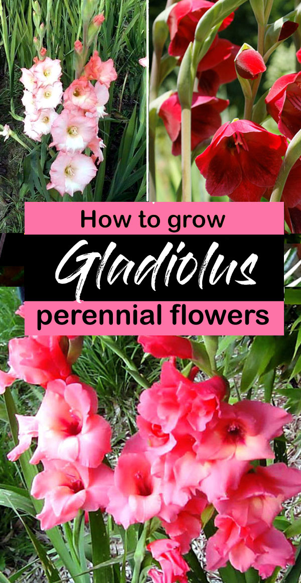 How to Grow Gladiolus | Growing Gladiolus plant