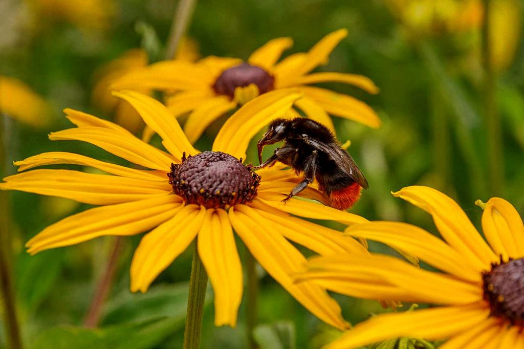Gloriosa daisy (Rudbeckia hirta)