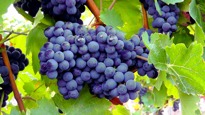 How to Grow Grapes | Growing grapes in containers | Grapevine care