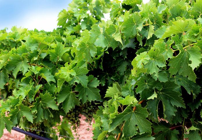 Grapes | grapevine