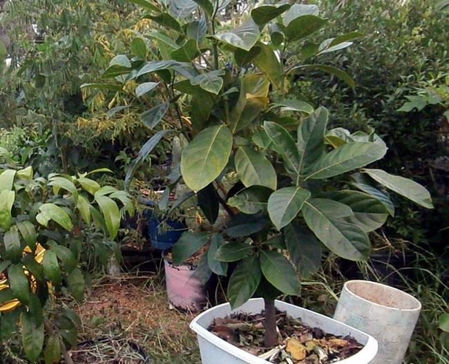 Growing Jackfruit | jackfruit tree | Kathal