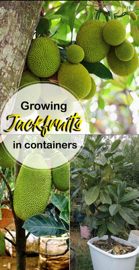 Growing Jackfruit | jackfruit tree | Kathal | how to grow jackfruit