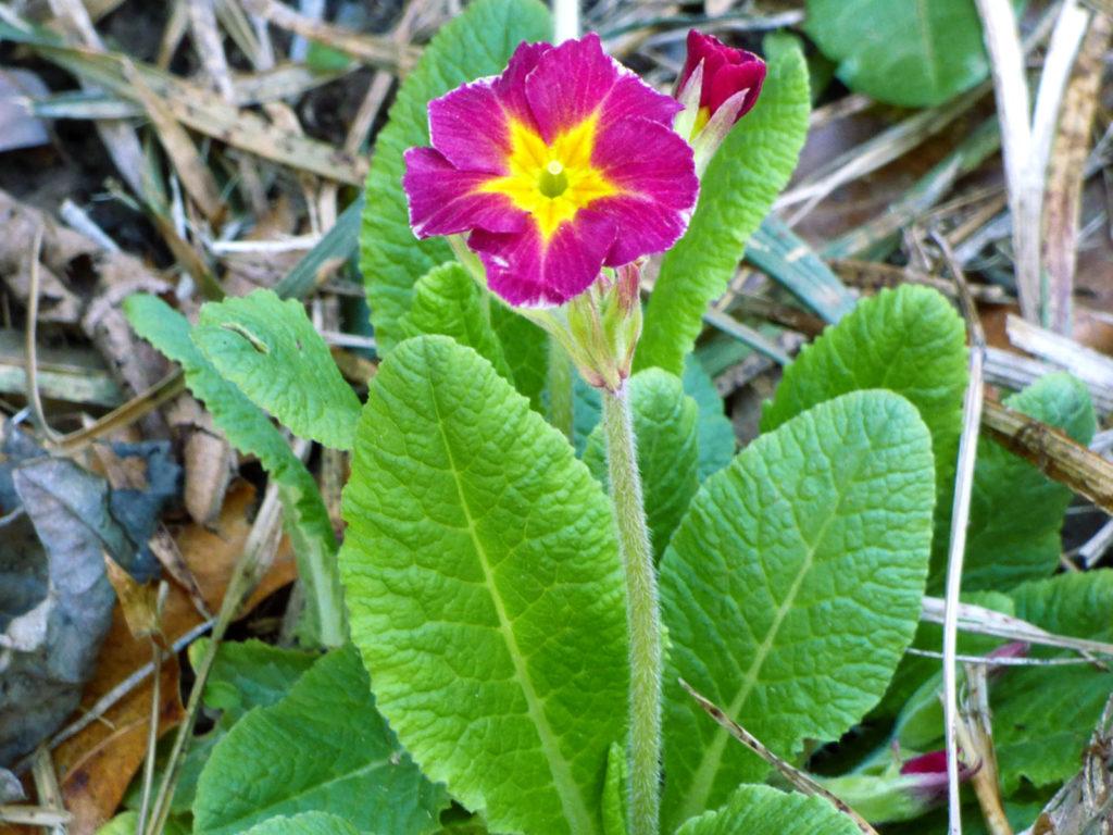 Primrose Flower22