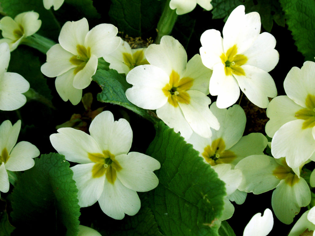 Primrose Flower 33