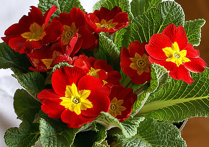 How to grow Primrose Flower | Growing Primrose from seed | Primulas care