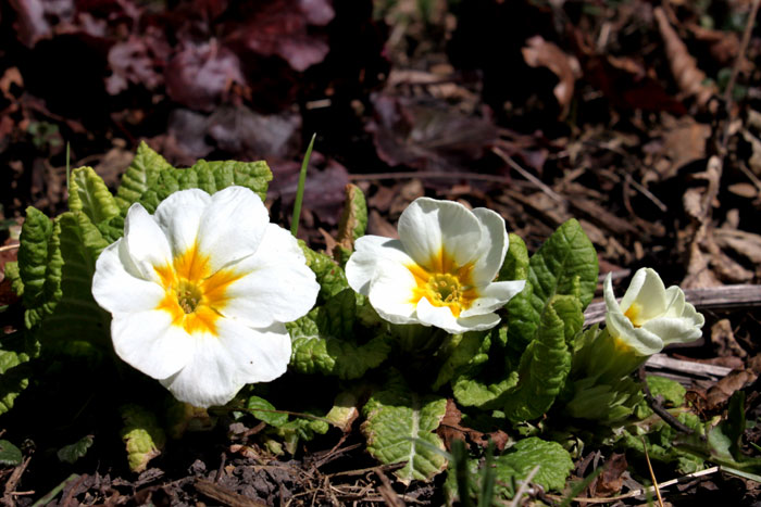 Primrose Flower | Growing Primulas