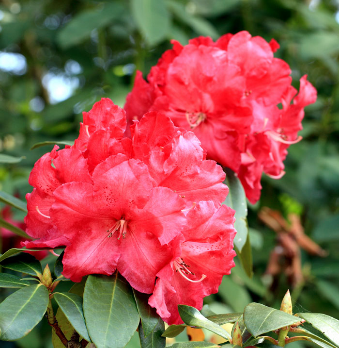 How to grow Rhododendron and azalea | Growing Rhododendron in pot