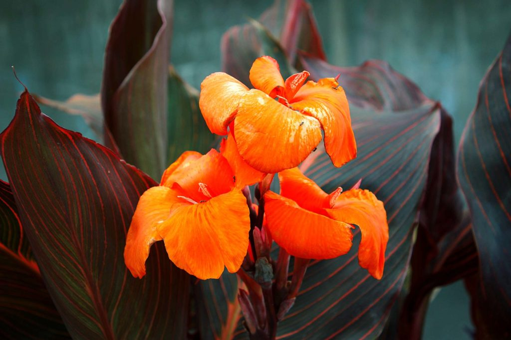 cannas-plant-orange