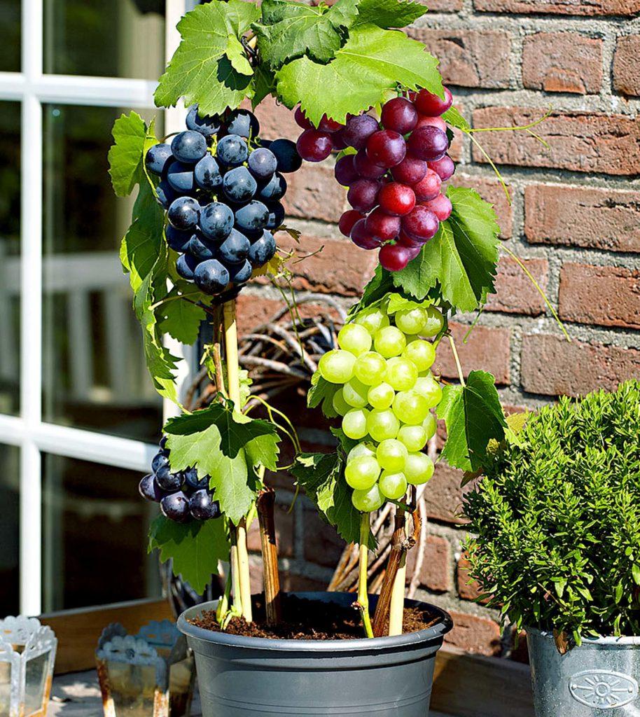 grapepots 1